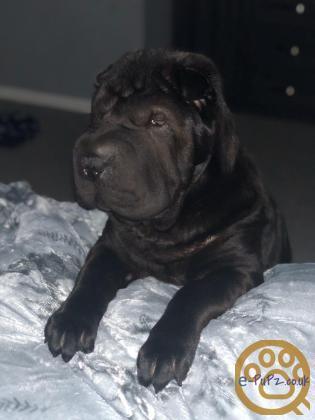 Shar pei puppy (boy)