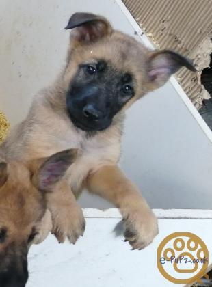 German shepherd x Belgium shepherd puppies