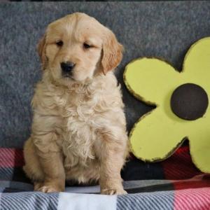 Amazing Kc Golden Retriever Puppies For Sale