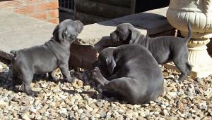 Exceptional & Fully Health Tested Blue Staffordshire Bull Terrier Puppies