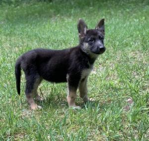 German Shepherd pups just turned 10 weeks old and are searching for their furever homes!