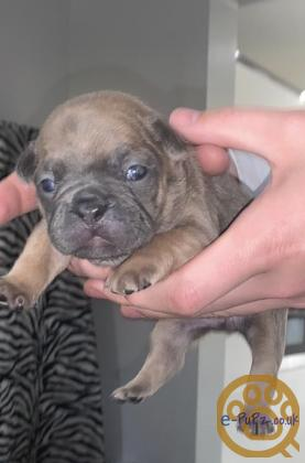 French bull dog puppies