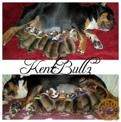 New England Bulldogge pups