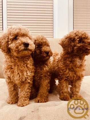 Red toy poodle Adorable litter KC register & PRA clear