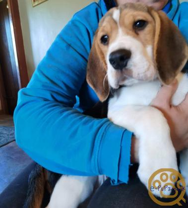 Male Beagle Puppy