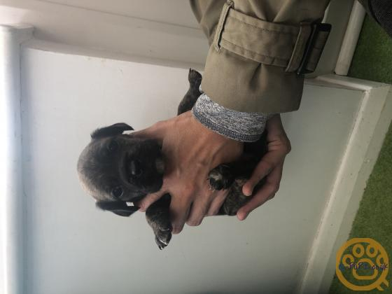 Meet The Frockers!! We have 9 beautiful French Bulldog x Cocker Spaniel puppies for sale both girls and boys.