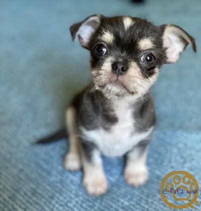 Ready now! Only 1 left! Amazing Blue Tri Chorkie Puppy boy - very rare