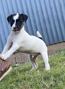 Stunning Jack Russell Boy Puppy