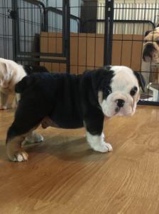 KC Registered English Bulldog Puppies