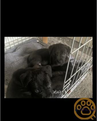 3 Cane Corso puppies