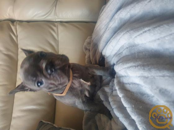5 blue girl French bulldog puppies for sale