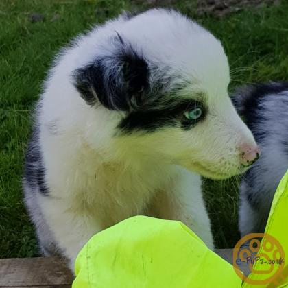 Blue Merle and Tri Border Collie puppies
