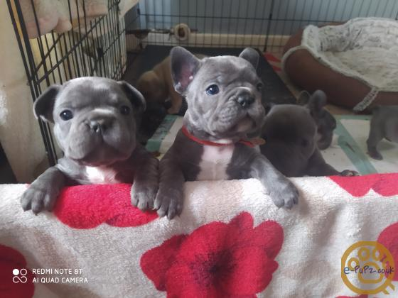 Gorgeous French bulldogs