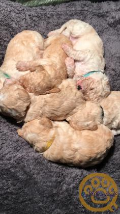 Poochons puppies