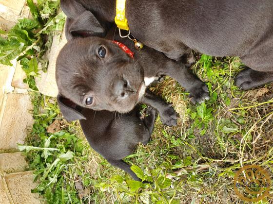 Staffordshire  Bullterrier Male Puppy