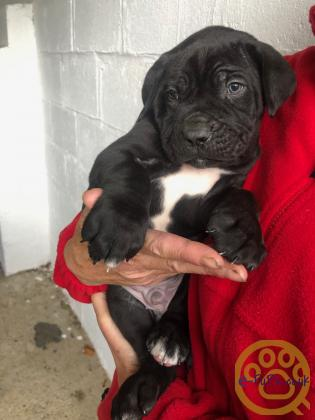 Gorgeous litter of Corso pups from great blood lines