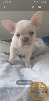 2 French Bulldog puppies ready to leave