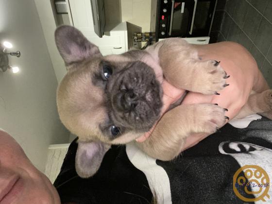 Super Cute French Bulldog Puppies
