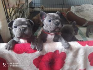 Gorgeous French bulldogs