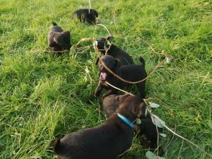 Perfect PATTERDALE Puppies