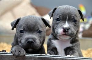 Stunning 10 weeks old males and femalesStaffordshire Bull Terrier puppies  for sale