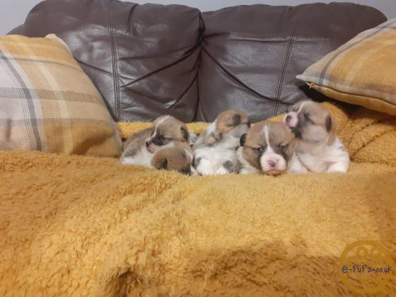 Beautiful Pembrokeshire Corgi puppies