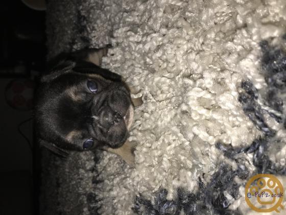 KC reg French bull dog pups