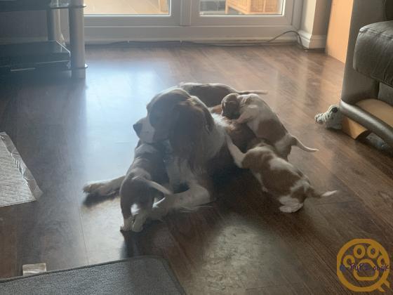 King Charles cavalier puppies 5 weeks old
