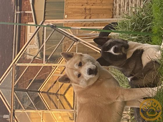 Akita cross husky puppies for sale