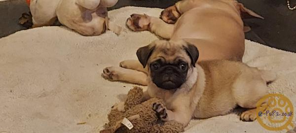 Perfect pugs male and female