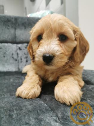 Stunning cavachon puppies