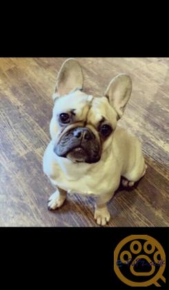 Stunning female fawn french bulldog puppy for sale