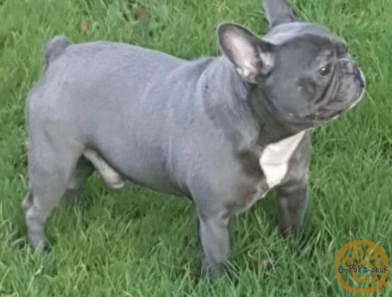 FRENCH BULLDOG SOLID BLUE FEMALE PUPPIES