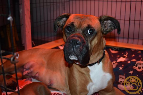 Last Male Boxer Dog Pups Kc Registered