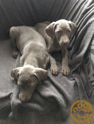 Weirameiner pups