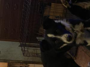 Drew is a 6 month old border collie