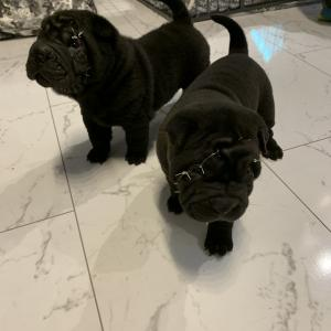 Sharpei  puppies ready to leave 25th January