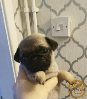 1 beautiful little pug puppy girl