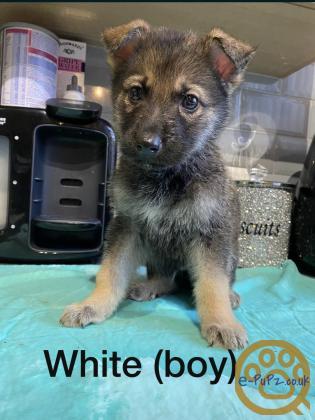 German Shepard X sarloo wolf dog!