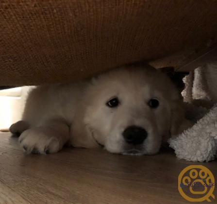 Kennel Club registered Golden Retriever puppy