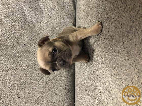 Litter of 7 French Bulldogs