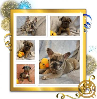 TOP QUALITY FRENCH BULLDOG PUPS