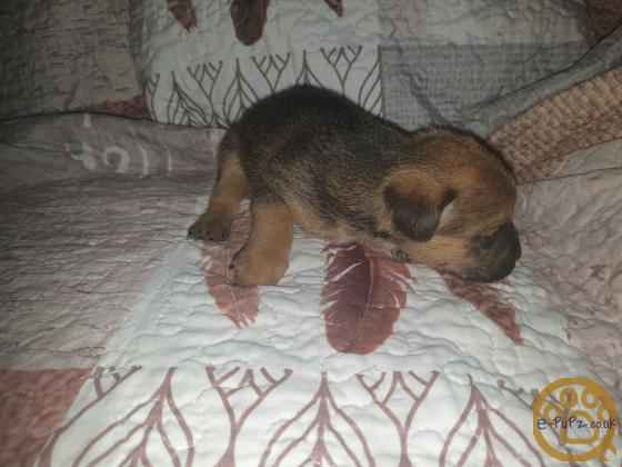 5 border terrier pups for sale
