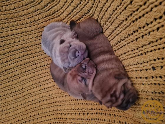 Bullpei puppies