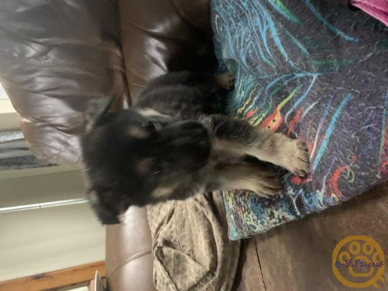 Chunky German shepherds puppies ready 17march