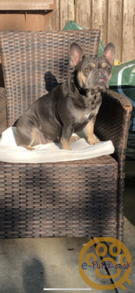 French bulldog puppies. Lilac and tan quad carries, possible testable carriers.