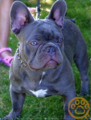 2 STUNNING MALE BLUE FRENCH BULLDOGS
