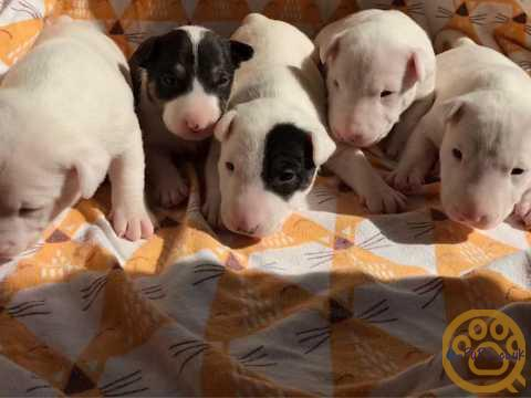 A Beautiful kennel club reg litter English bull terriers