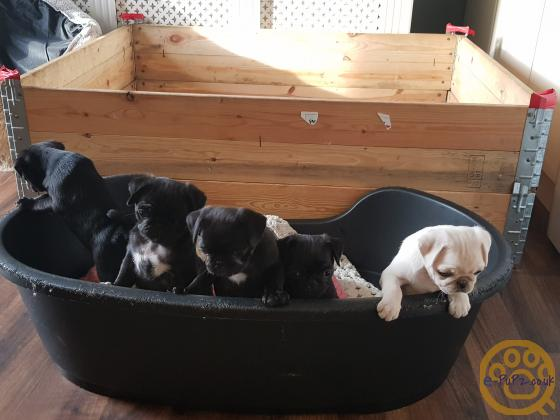 Beautiful black pedigree Pug puppies ready to go to their new homes now £1495.00