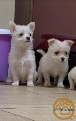 Beautiful litter of champagne and white Chihuahua x Yorkie puppies.